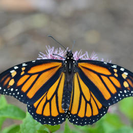 Female Monarch Nectaring on Joe Pye Weed