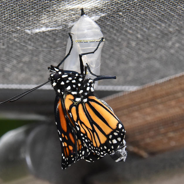 Monarch drying wings