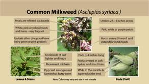 Common milkweed (Asclepias syriaca) is our milkweed species of the week