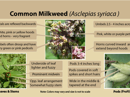 Common milkweed (Asclepias syriaca) is our milkweed species of the week