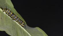 (2 of 11) Fourth Instar Caterpillar Molting