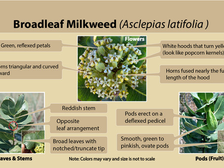 Broadleaf milkweed (Asclepias latifolia) is our milkweed species of the week