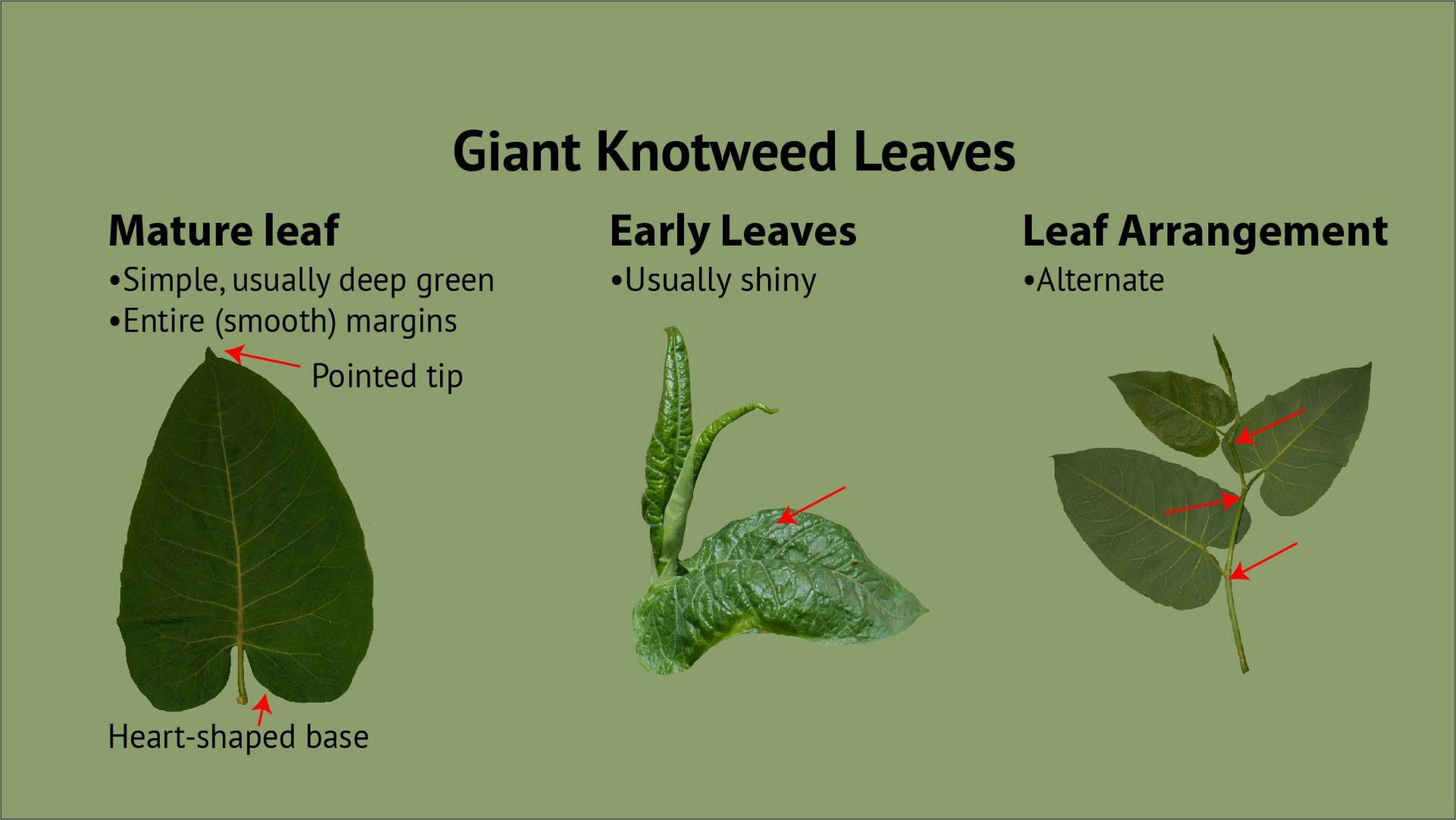 Giant Knotweed Leaves