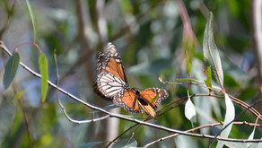 February 5th is Western Monarch Day. What will you do to help this imperiled species?