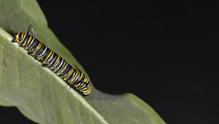 (4 of 11) Fourth Instar Caterpillar Molting