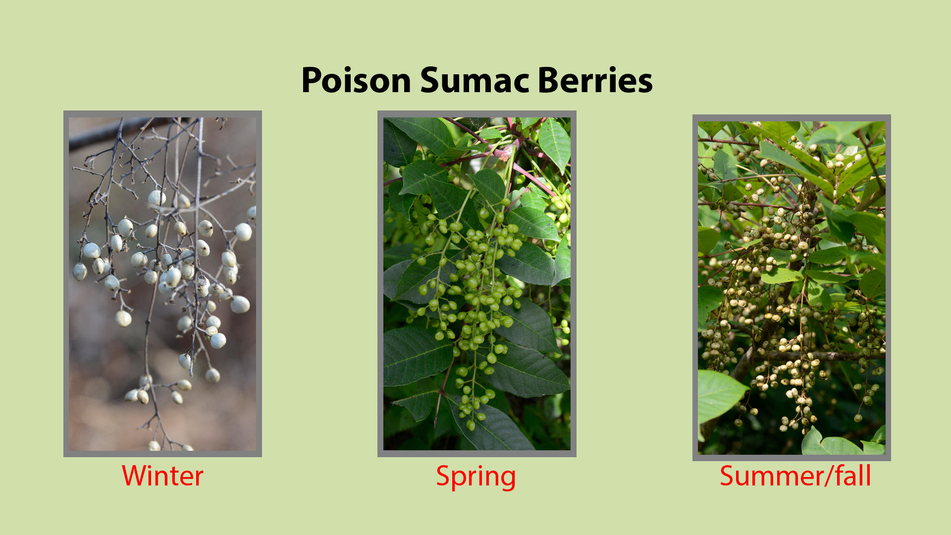 Poison Sumac Berries