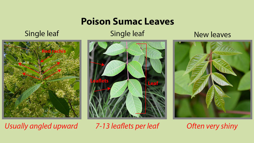 Poison Sumac Leaves
