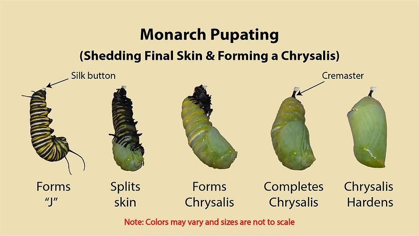 MON_MakingChrysalis.jpg