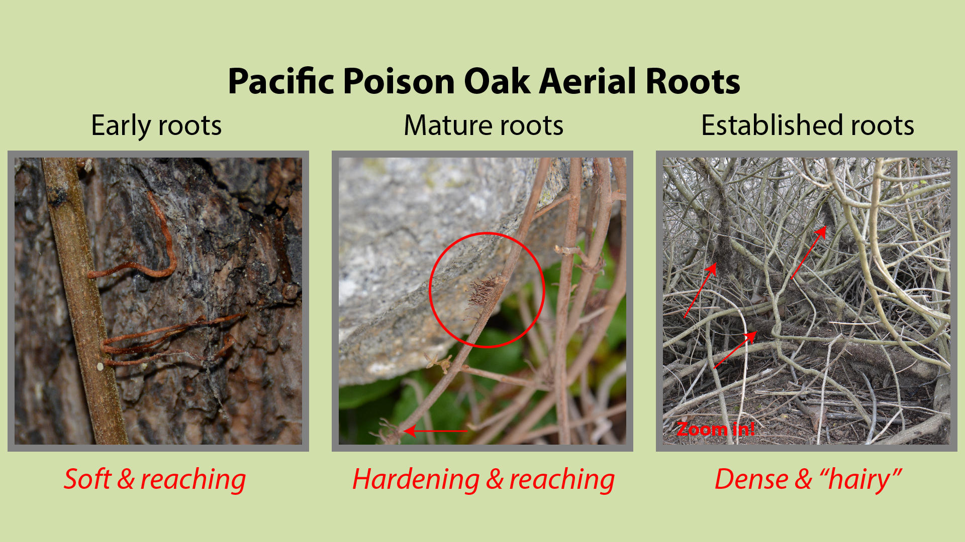 Pacific Poison Oak Aerial Roots