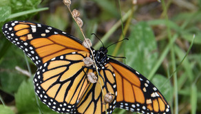 More distressing news for monarchs