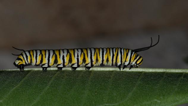 Fifth Instar Caterpillar