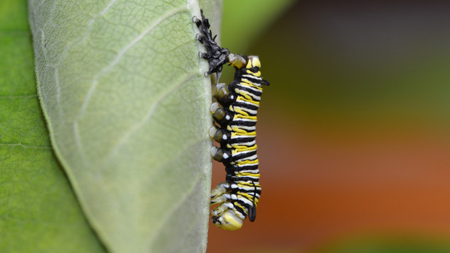 Fifth Instar Recently Molted