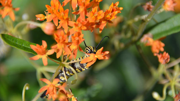 Monarch Caterpillar Eating Butterfly Weed Flowers