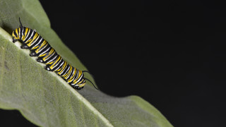 (1 of 10) Fourth Instar Caterpillar Molting