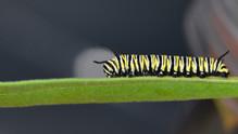 Fourth Instar Caterpillar Mid-stage
