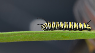 Fourth Instar Caterpillar Mid-stage