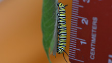 Fifth Instar - Measured Mid-stage