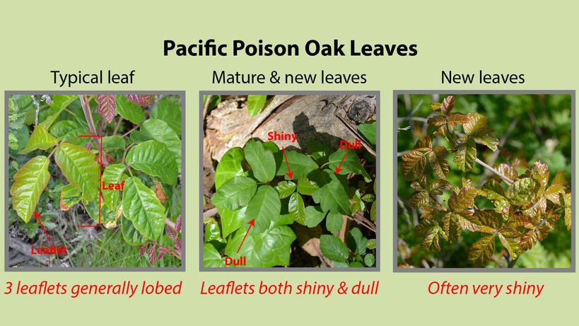 Pacific Poison Oak Leaves