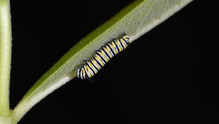 (7 of 7) Third Instar Filled with Fluid After Molt
