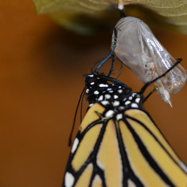 "Female Monarch ""Zipping"" Her Proboscis"