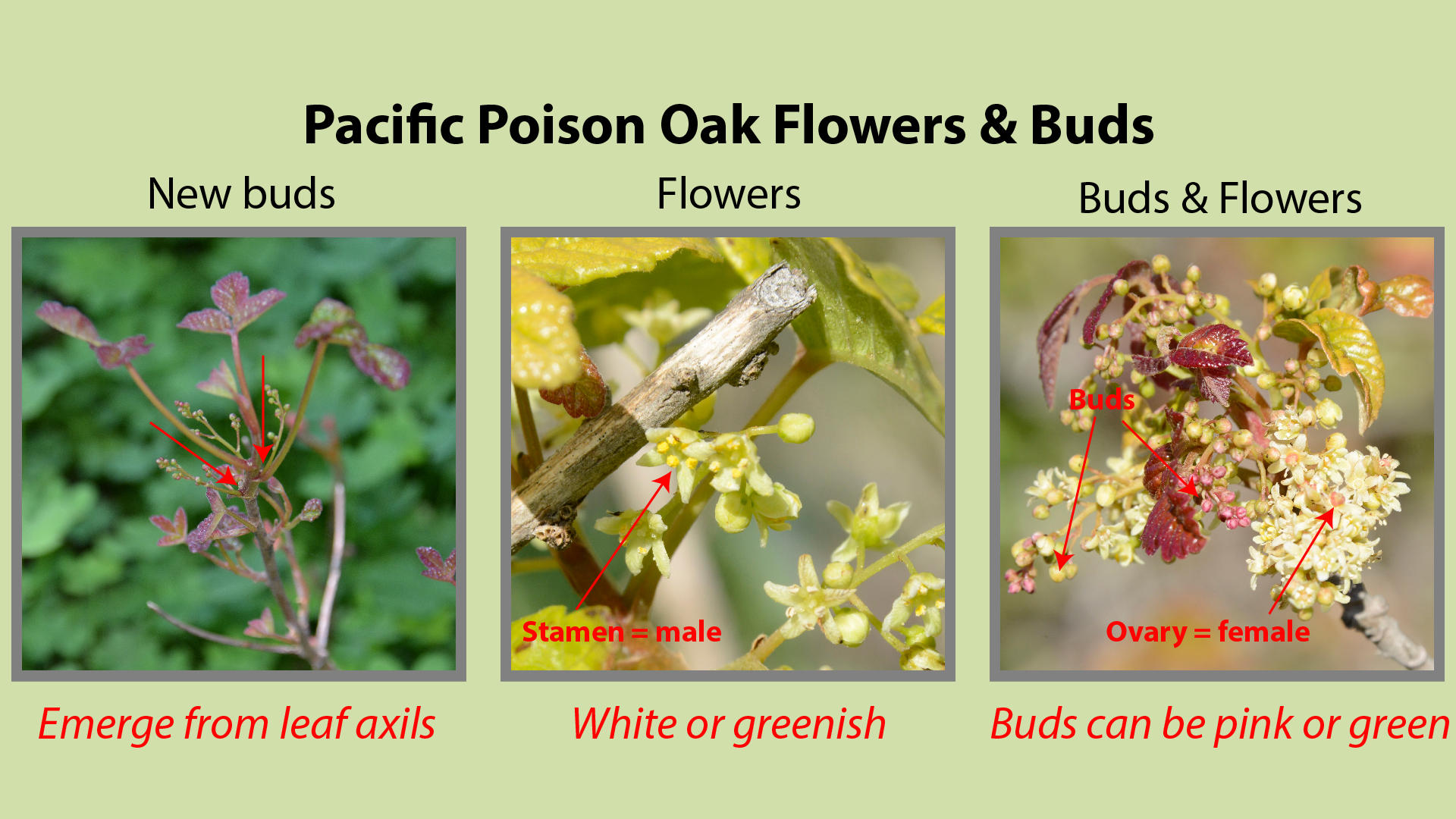 Pacific Poison Oak Flowers and Buds