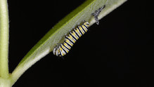 (4 of 7) Third Instar Filling with Fluid after Molting