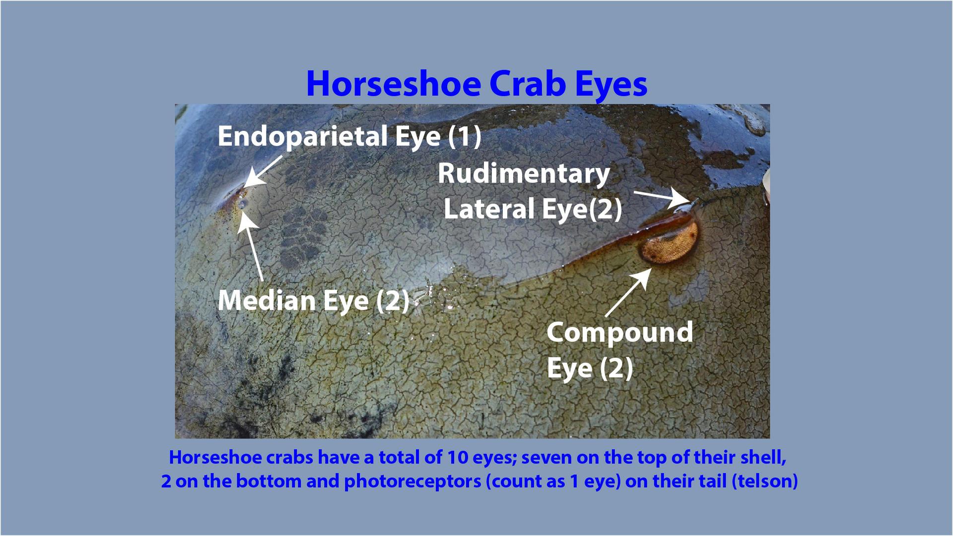 Horseshoe Crab Eye Identification