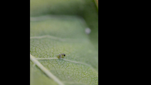 Video: Monarch Egg Hatching