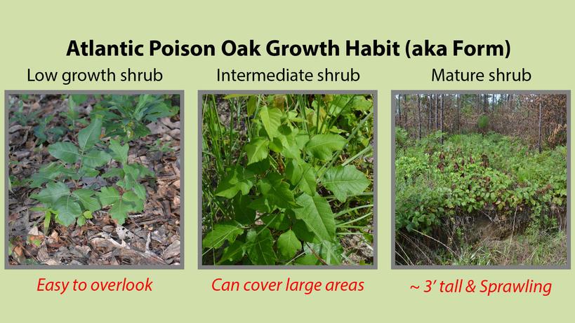 Atlantic Poison Oak Growth Habit or Form