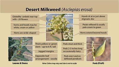 Desert Milkweed (Asclepias erosa)