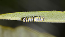 Second Instar Late Stage with Dropped Head Capsule