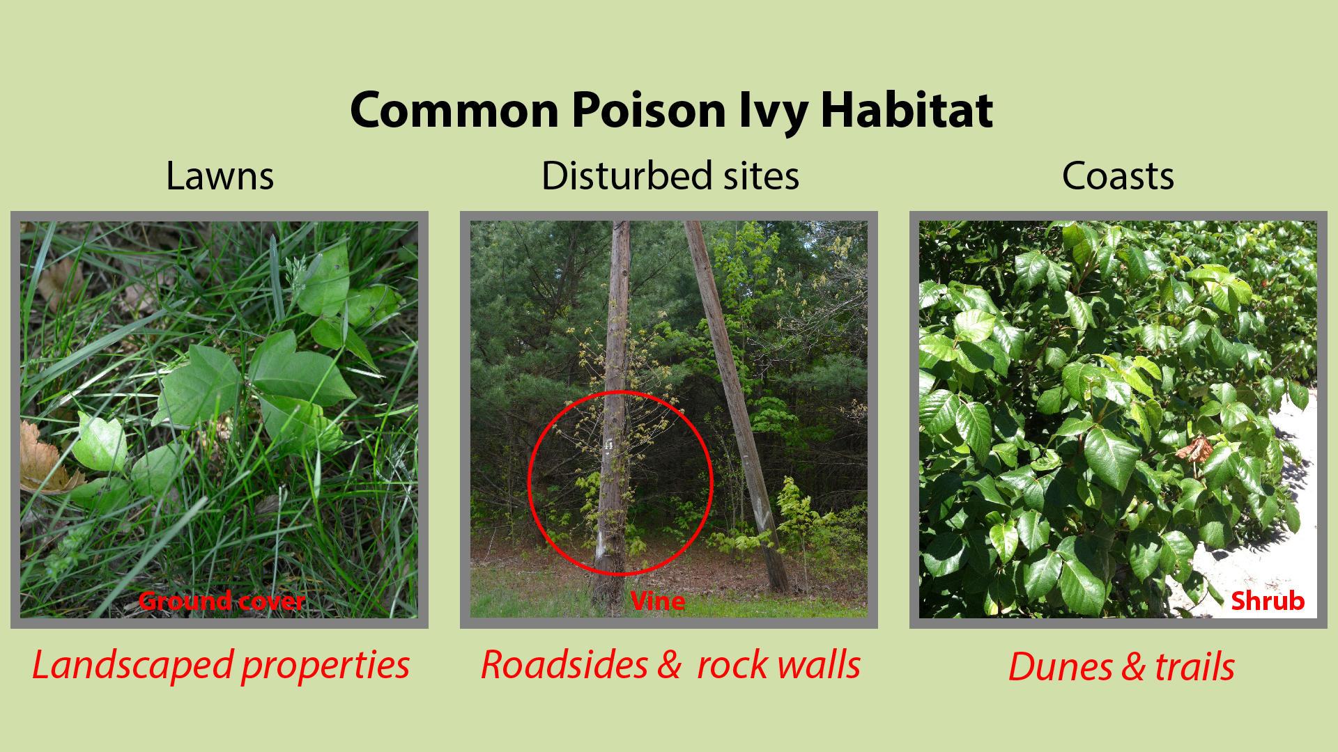 Poison Ivy Habitat