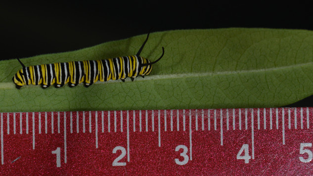 Fourth Instar Caterpillar - Early Measurement