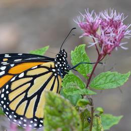 Female Monarch with Proboscis Coiled