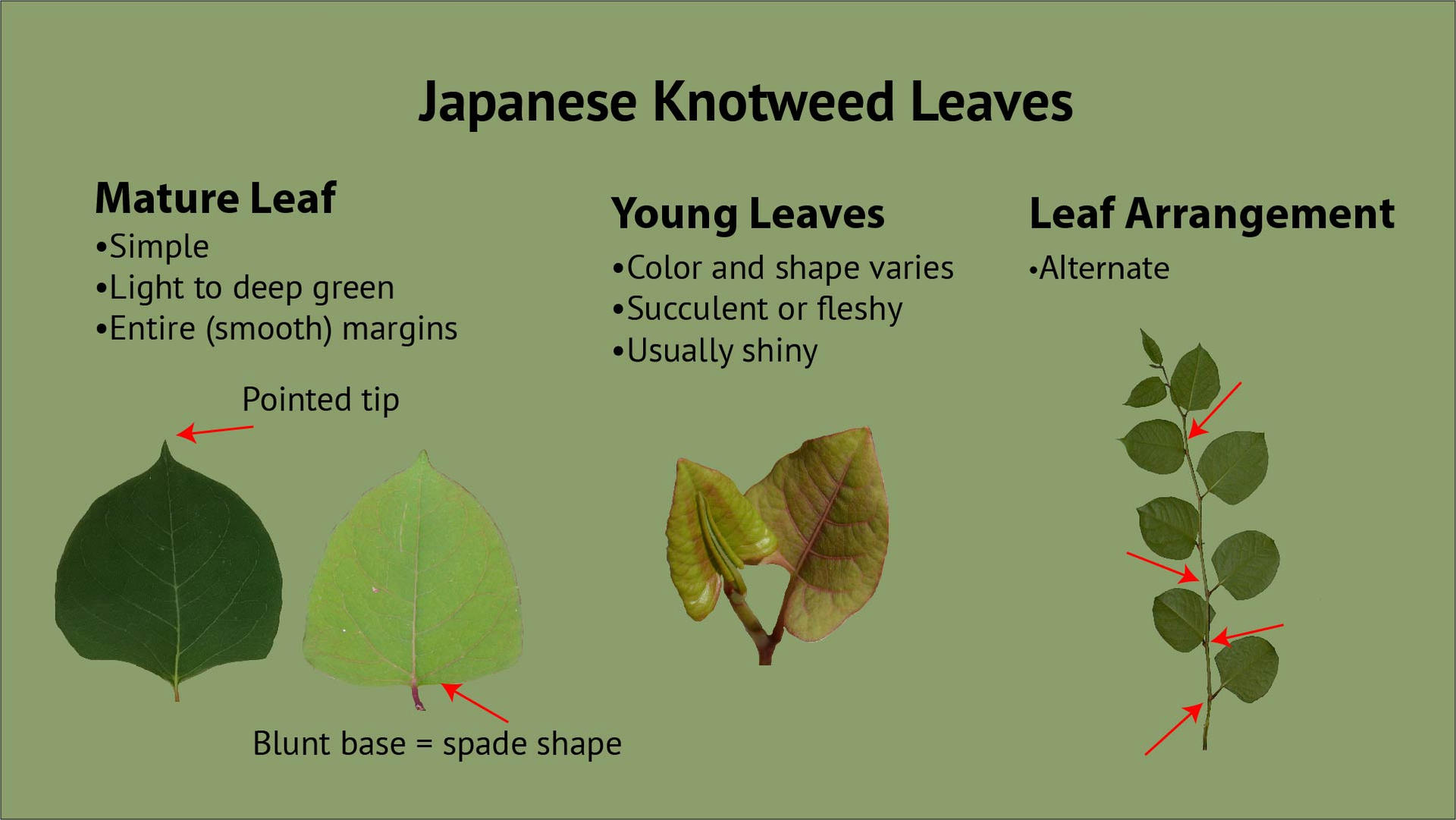 Japanese Knotweed Leaves