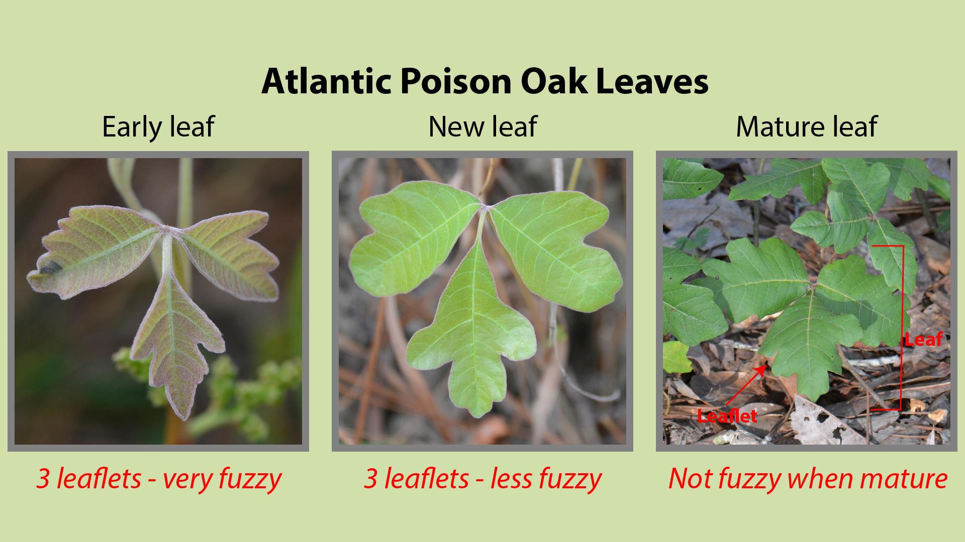 Atlantic Poison Oak Leaves