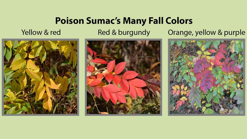Poison Sumac Fall Colors