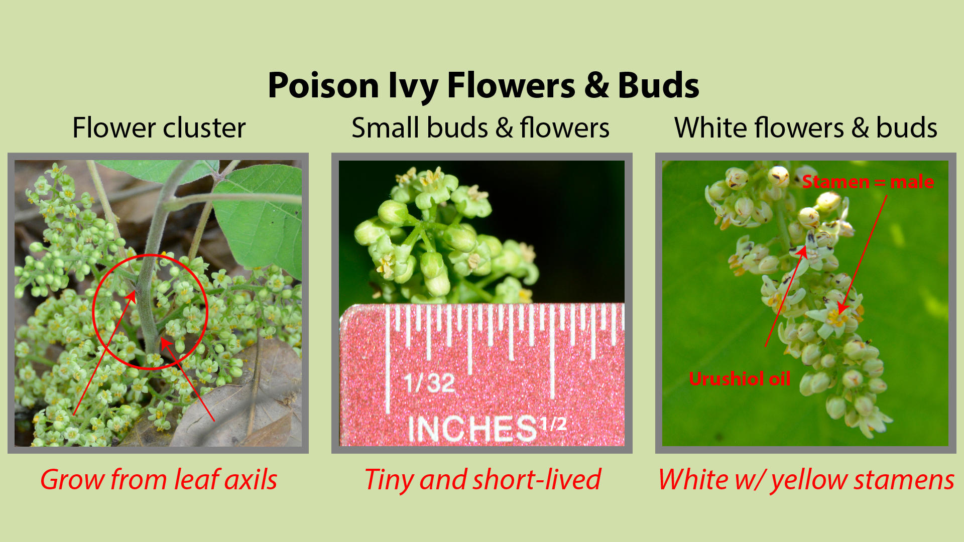 Poison Ivy Flowers and Buds