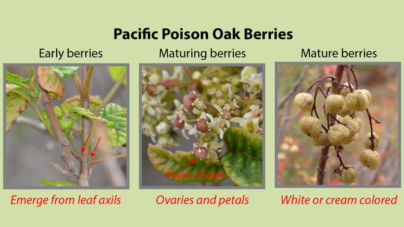 Pacific Poison Oak Berries
