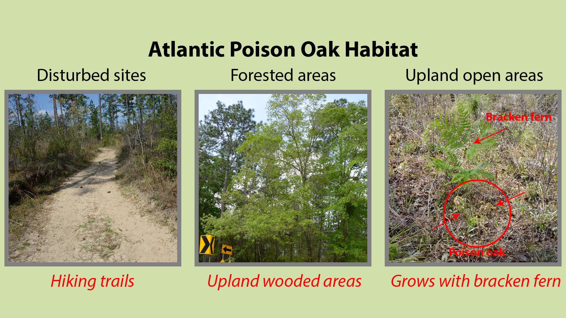 Atlantic Poison Oak Habitat