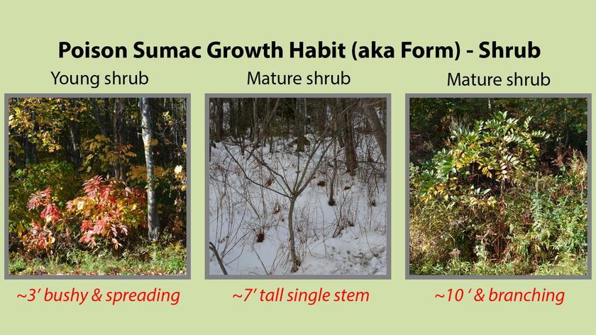 Poison Sumac Growth Habit or Form