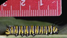 Fourth Instar Caterpillar - Late Measurement