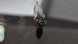 Monarch butterfly eclosing sequence 7 of 9