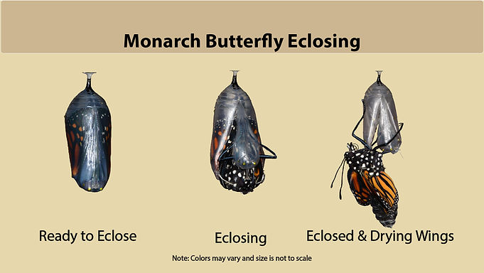 MON_Eclosing2.jpg