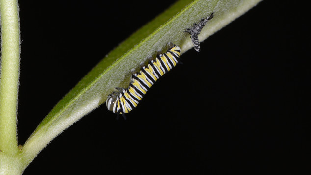 (3 of 7) Third Instar Filling with Fluid after Molting