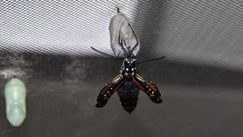 Monarch butterfly eclosing sequence 9 of 9