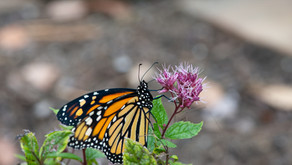 Monarch butterflies denied protection for many years. That's not good news.