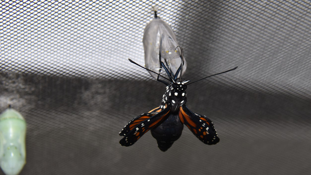 Monarch butterfly eclosing sequence 8 of 9
