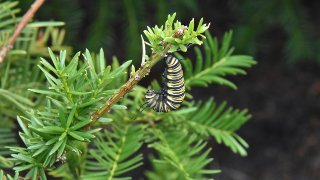 """Fifth Instar in """"J"""" Form Prior to Forming Chrysalis"""