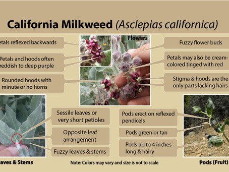 California milkweed (Asclepias californica) is our milkweed species of the week